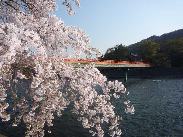 宇治川ラインの桜