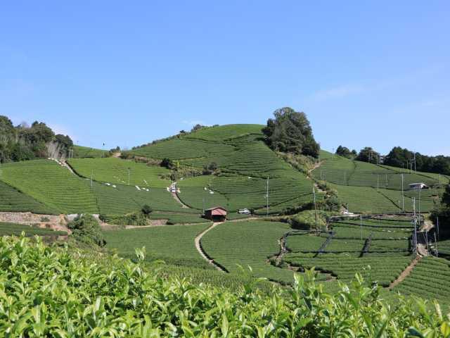 白栖・石寺の茶畑