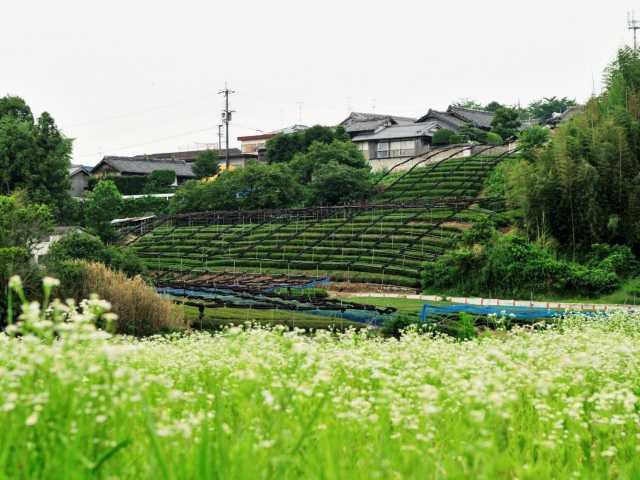 飯岡の茶園