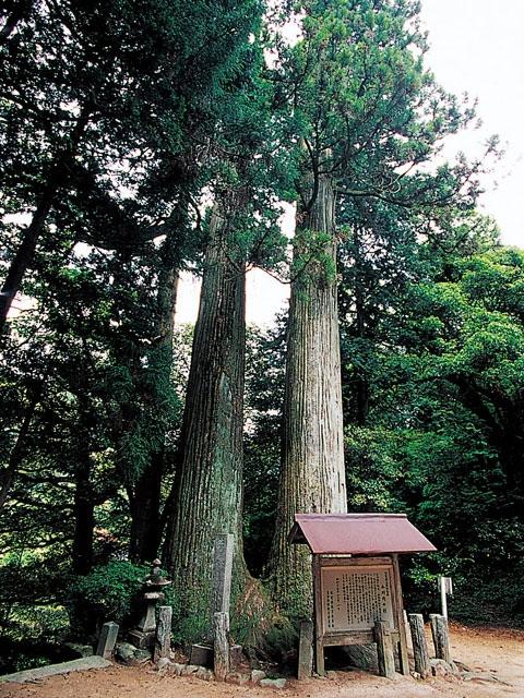 小川内の杉