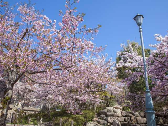 岡本南公園の桜