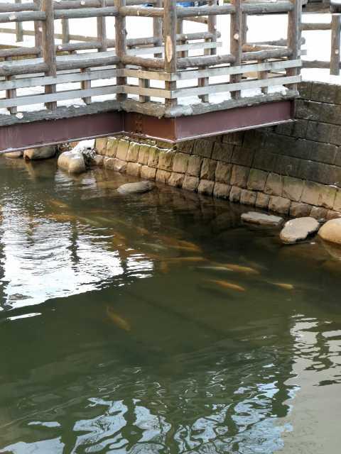 鴨々川の鯉