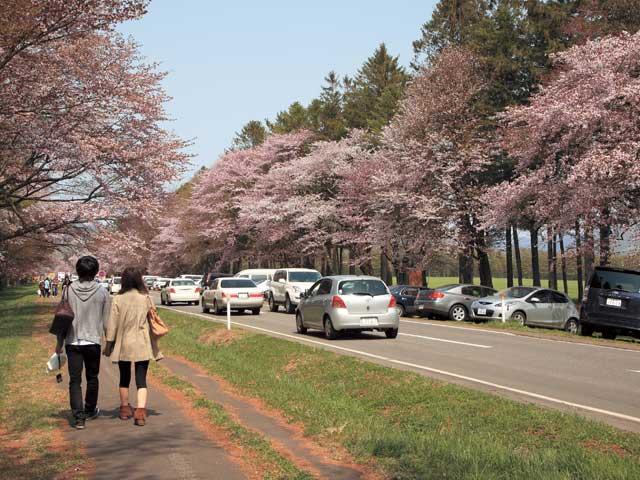 静内二十間道路桜並木