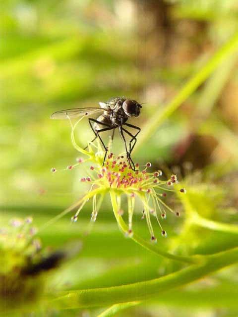 成東・東金 食虫植物 群落