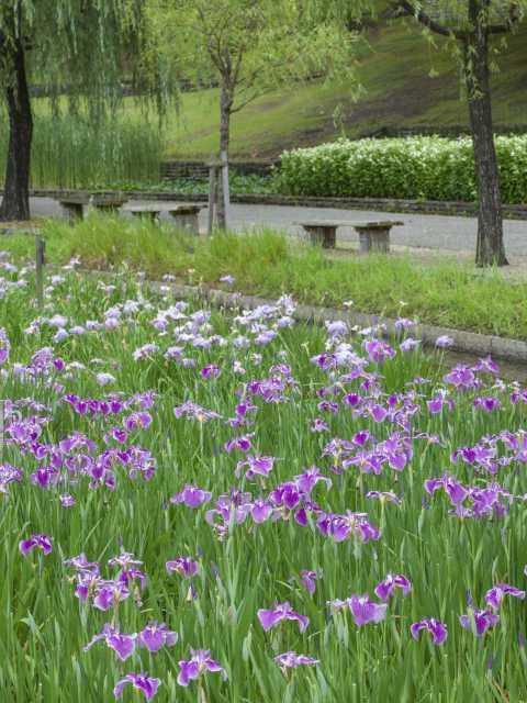 万博記念公園のハナショウブ