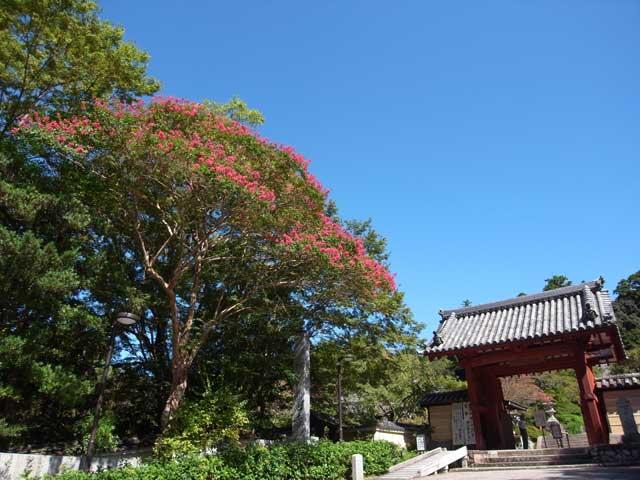 観心寺のサルスベリ
