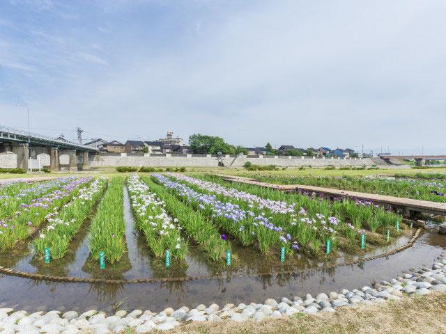 小矢部河川公園菖蒲園
