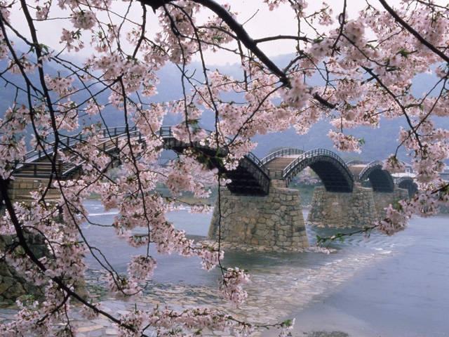 錦帯橋畔のサクラ