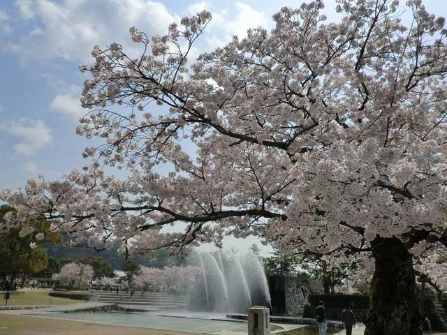吉香公園のサクラ