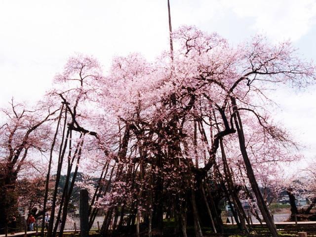 置賜さくら回廊の桜
