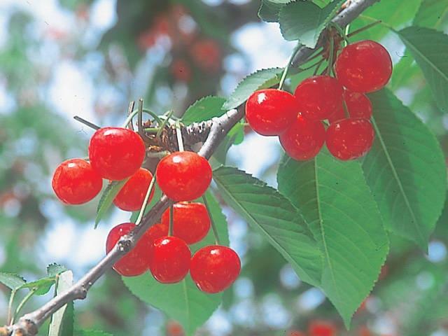 神町観光果樹園