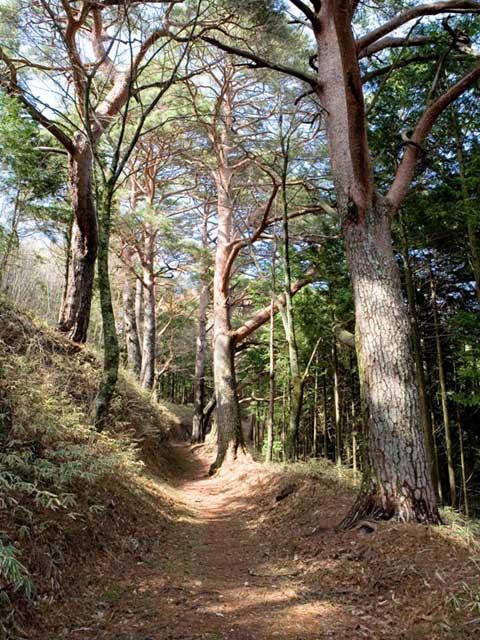 大船神社参道の松並木
