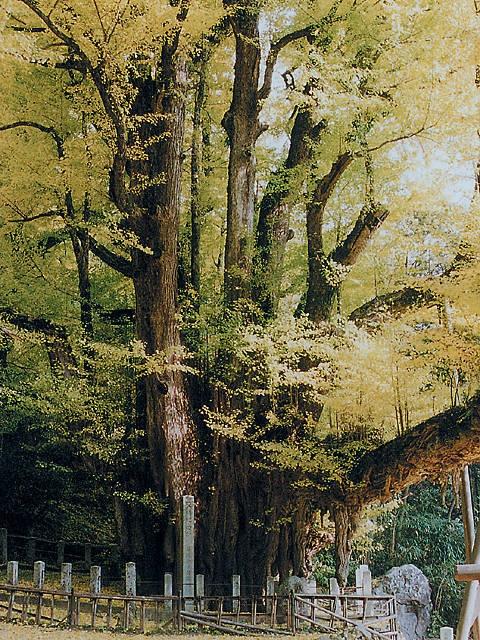 菩提寺の大イチョウ