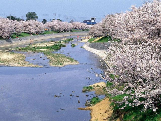 頓田川河川敷の桜
