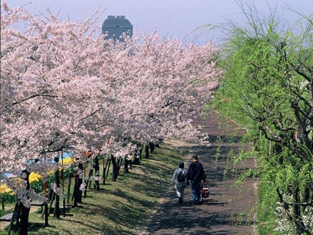 やすらぎ堤の桜