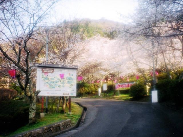 猪子山公園の桜