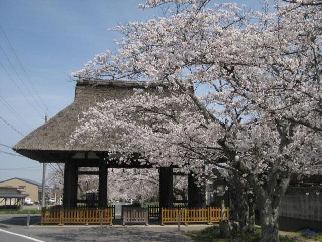 新宮神社の桜