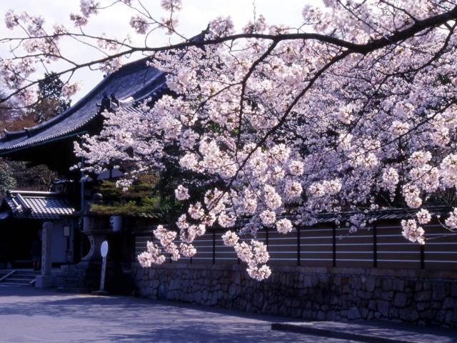 石山寺と瀬田川流域の桜