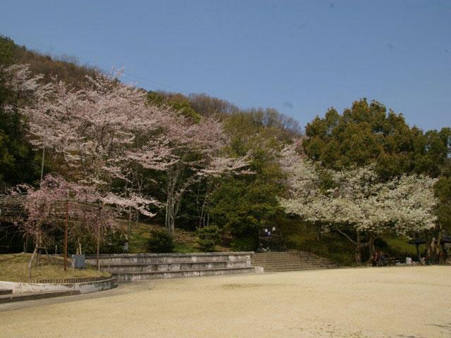 八幡公園の桜