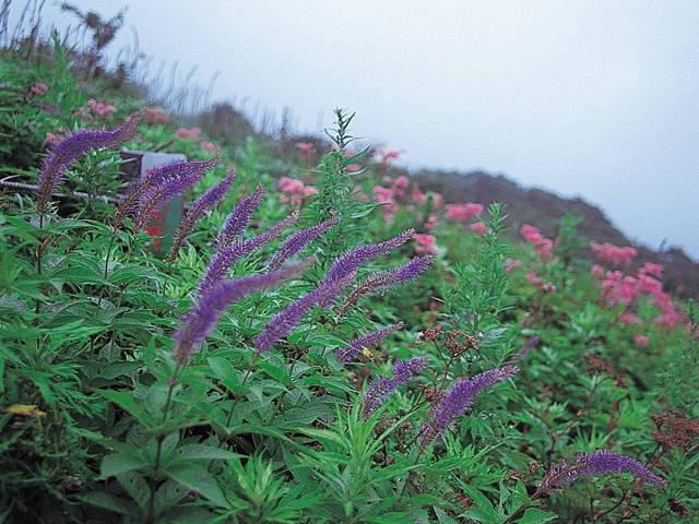 伊吹山の高山植物
