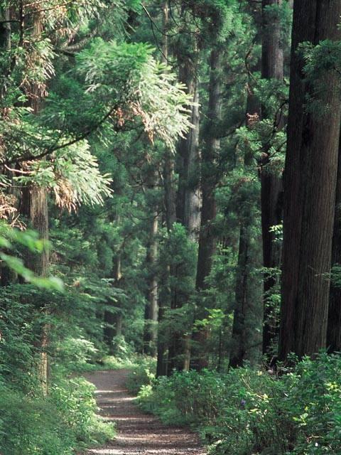 旧街道杉並木