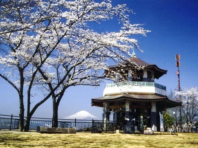 弘法山公園のサクラ