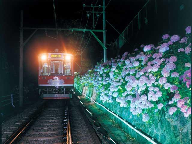 箱根登山鉄道沿線のアジサイ