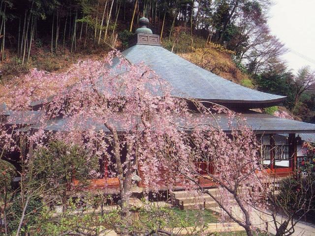 東慶寺のサクラ・ハナショウブ
