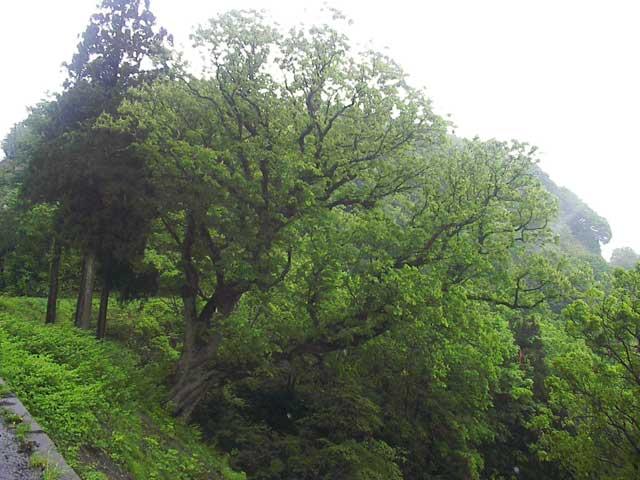 栃ノ木峠のトチの木