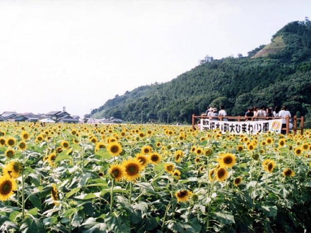 朝倉市大ひまわり園