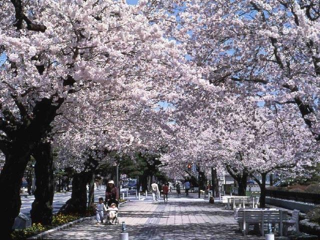 十和田市官庁街通(駒街道)の桜