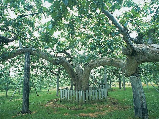 日本最古のりんご樹