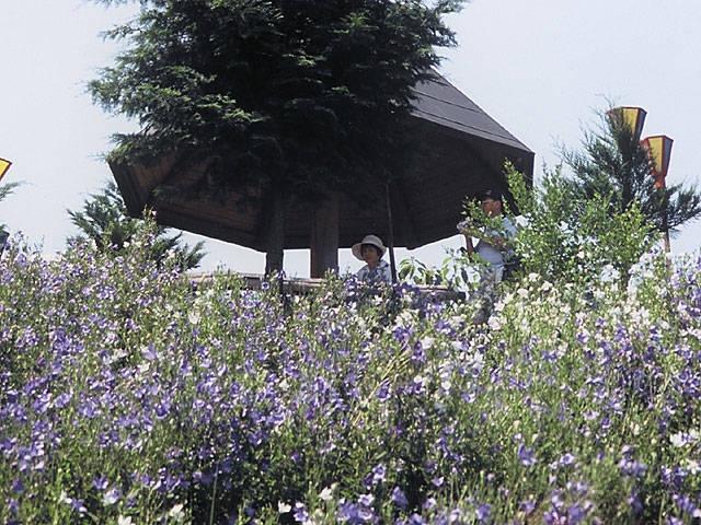 鹿苑山香勝寺のキキョウ