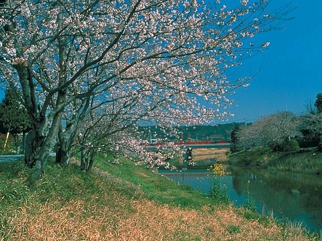 勝間田川沿いの桜