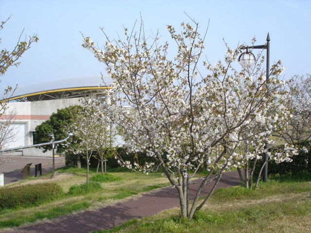 吉川町桜づつみ公園