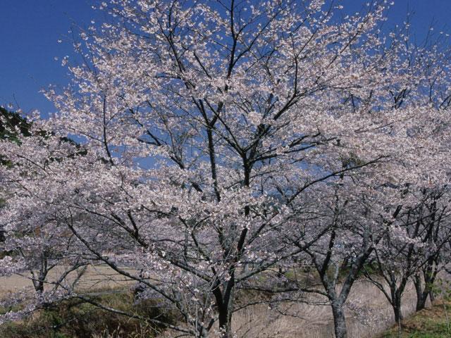 大坂の桜並木