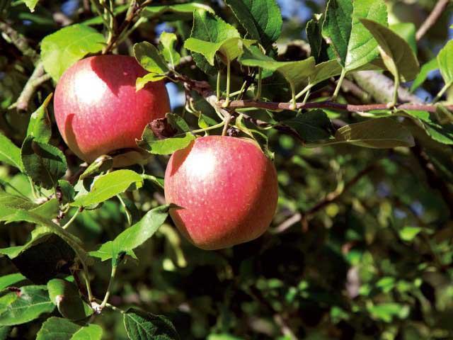 沼田のリンゴ