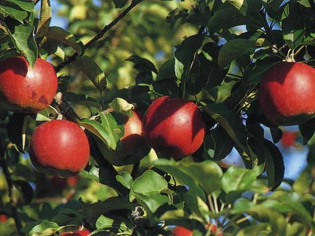 網走のリンゴ