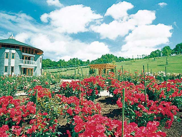 札幌のバラ