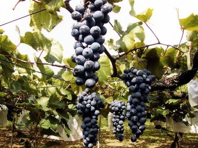 袖ヶ浦のブドウ