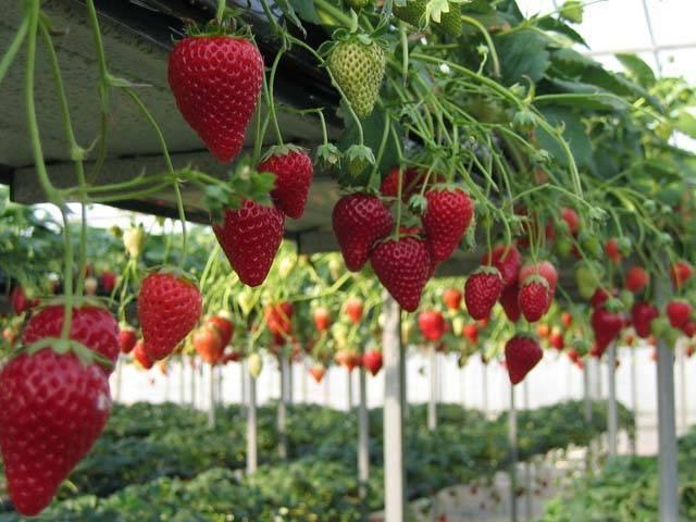 東庄のイチゴ