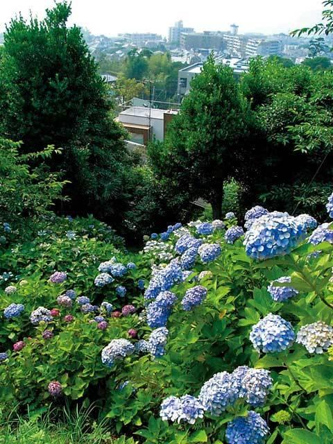 横須賀・葉山のアジサイ