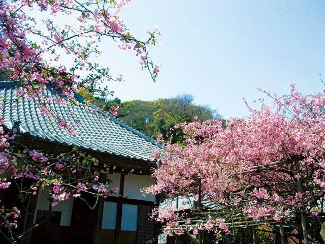 鎌倉のウメ
