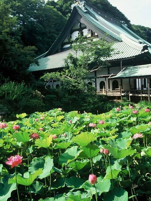 鎌倉のハス