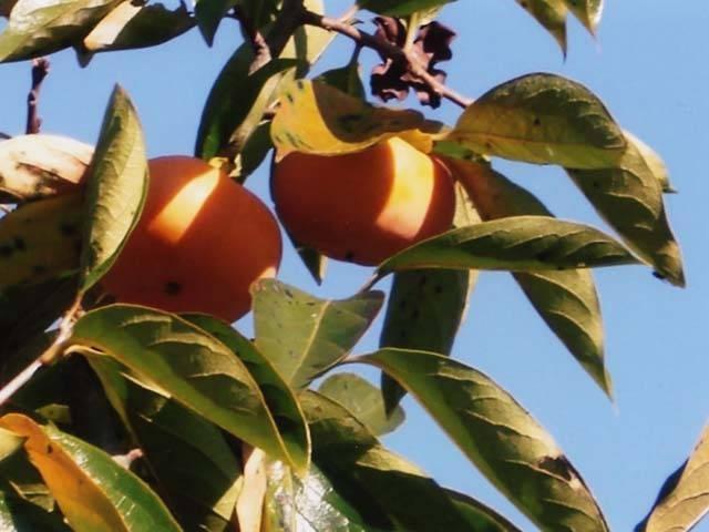 茅ヶ崎の柿