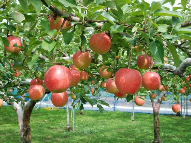 藤沢のリンゴ