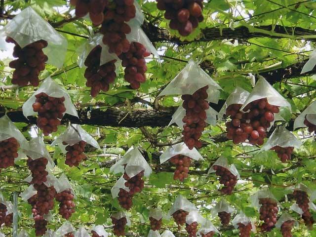 新潟のブドウ
