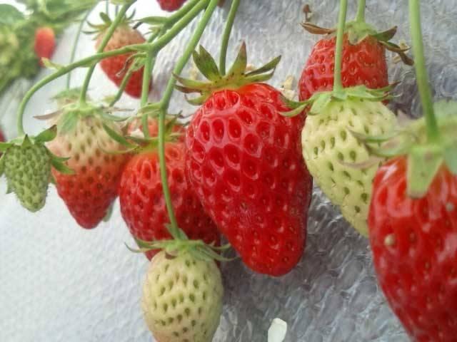 加賀のイチゴ