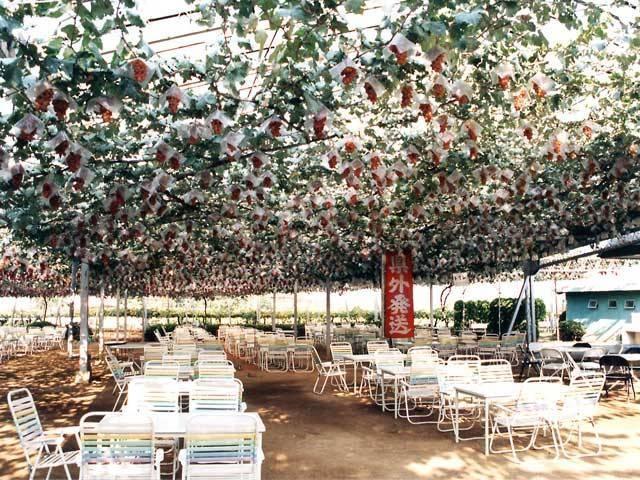 甲府・勝沼のブドウ