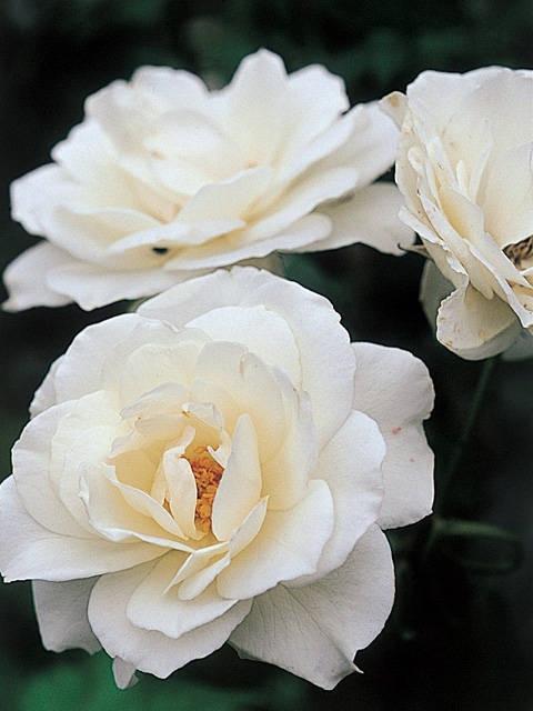 信州のバラ